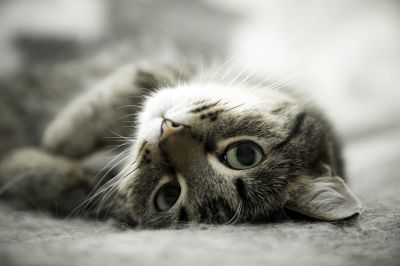 Happy Cat Adult Salmone dell'Atlantico