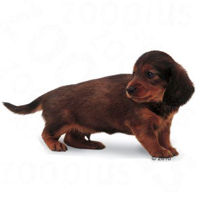 Royal Canin Breed Dachshund Junior