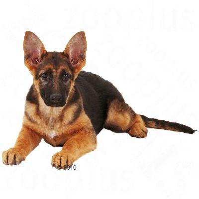 Royal Canin Breed Hondenvoer - German Shepherd Junior