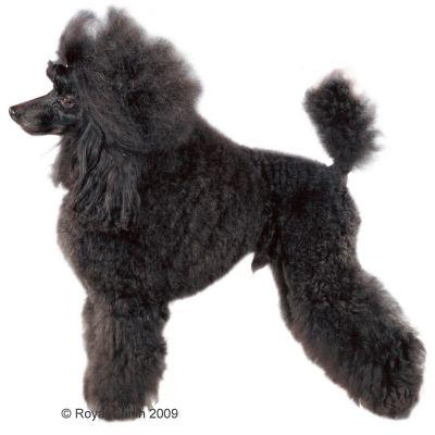Royal Canin Breed Hondenvoer - Poodle Adult