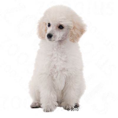 Royal Canin Breed Poodle Junior