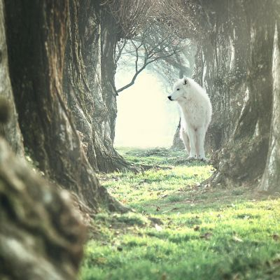 Wolf of Wilderness Senior